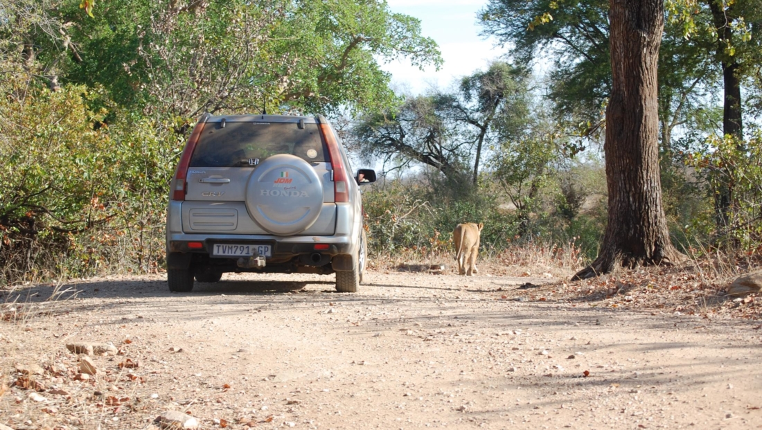 Kruger National Park - Leeuw loopt voor auto uit