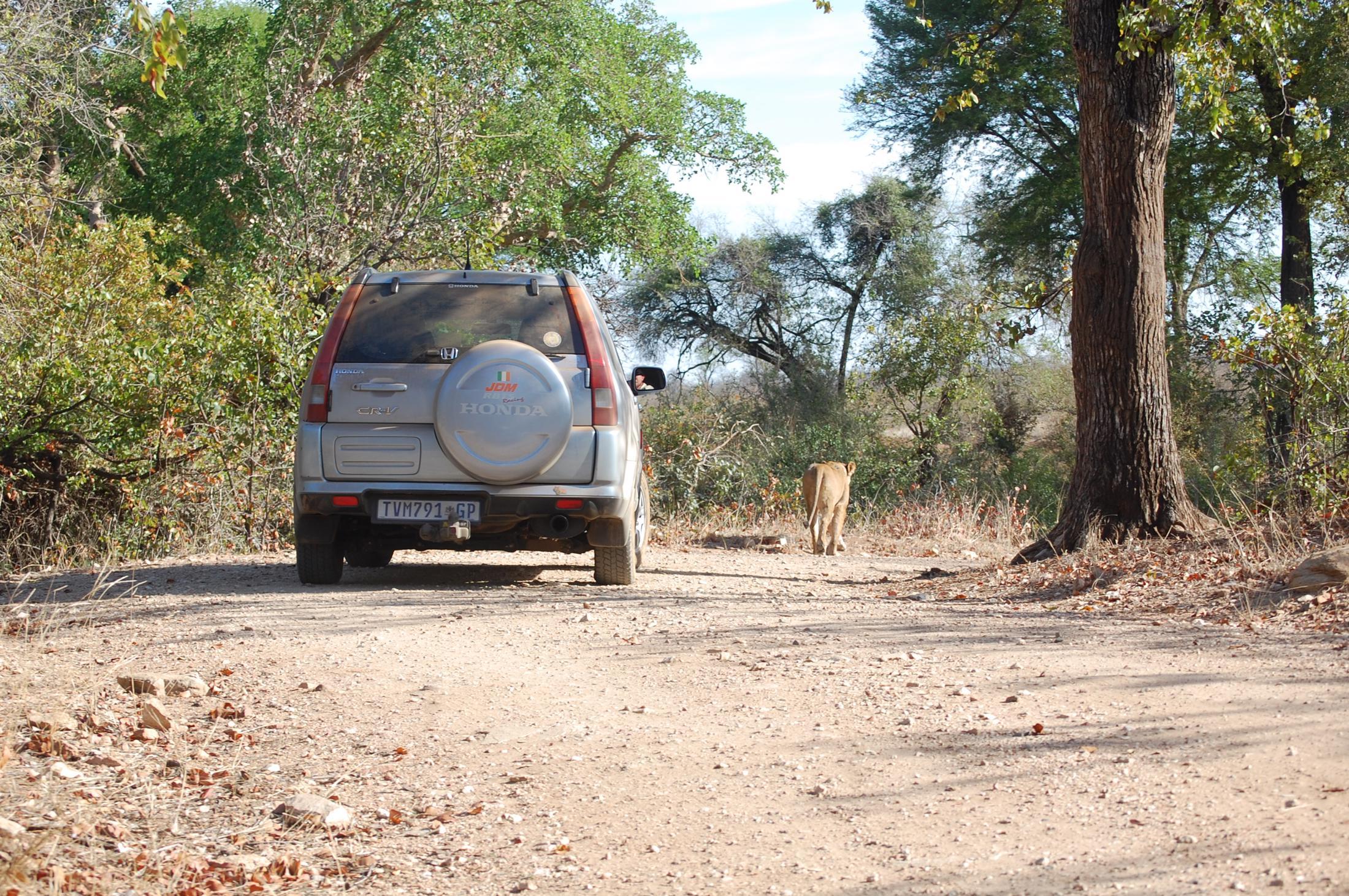 Safari reizen Zuid-Afrika: Leeuw loopt op de weg.