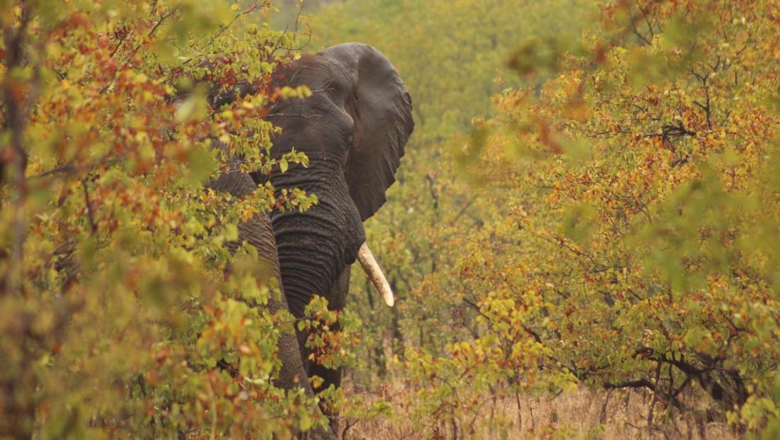 Kruger National Park - Olifant verstopt in de bush