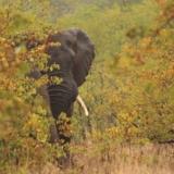 Rondreizen Zuid-Afrika - Kruger National Park olifant verstopt in de bush