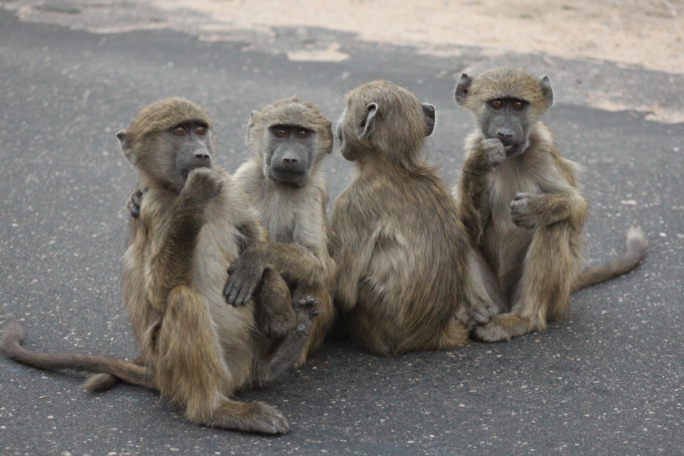 Kruger National Park - Bavianen op de weg