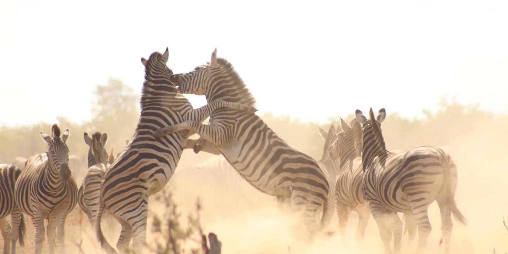 Kruger National Park - Vechtende zebra's