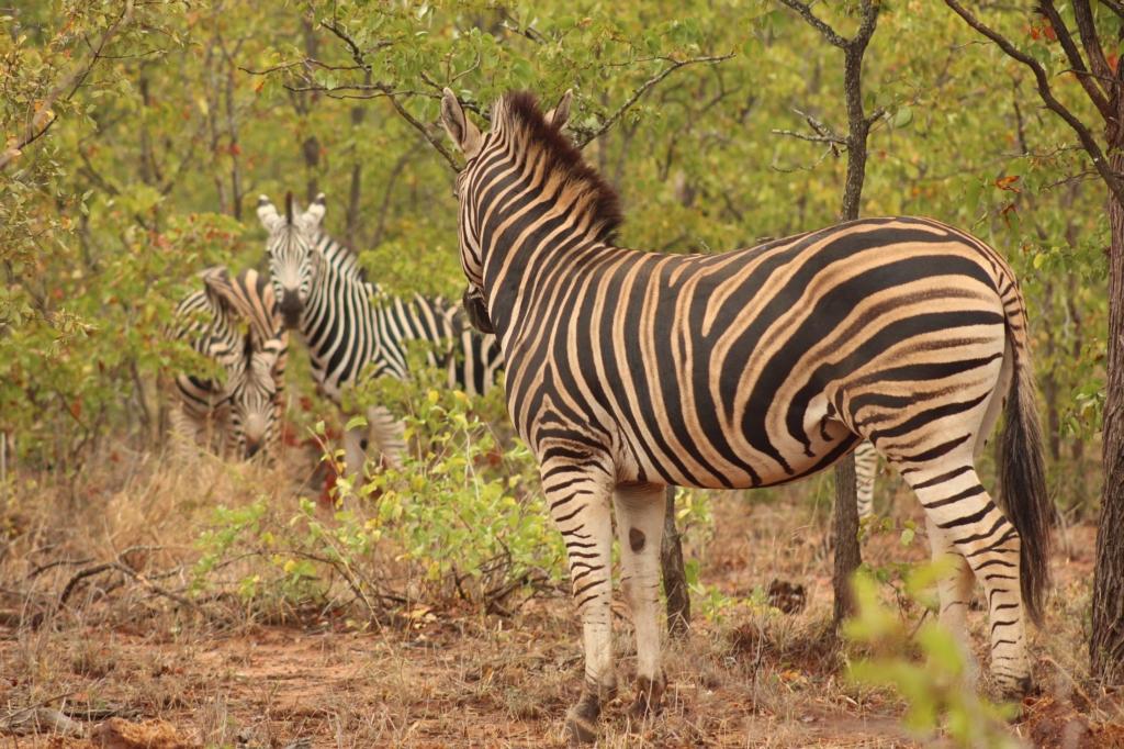 Kruger National Park - Zebra's houden elkaar in de gaten