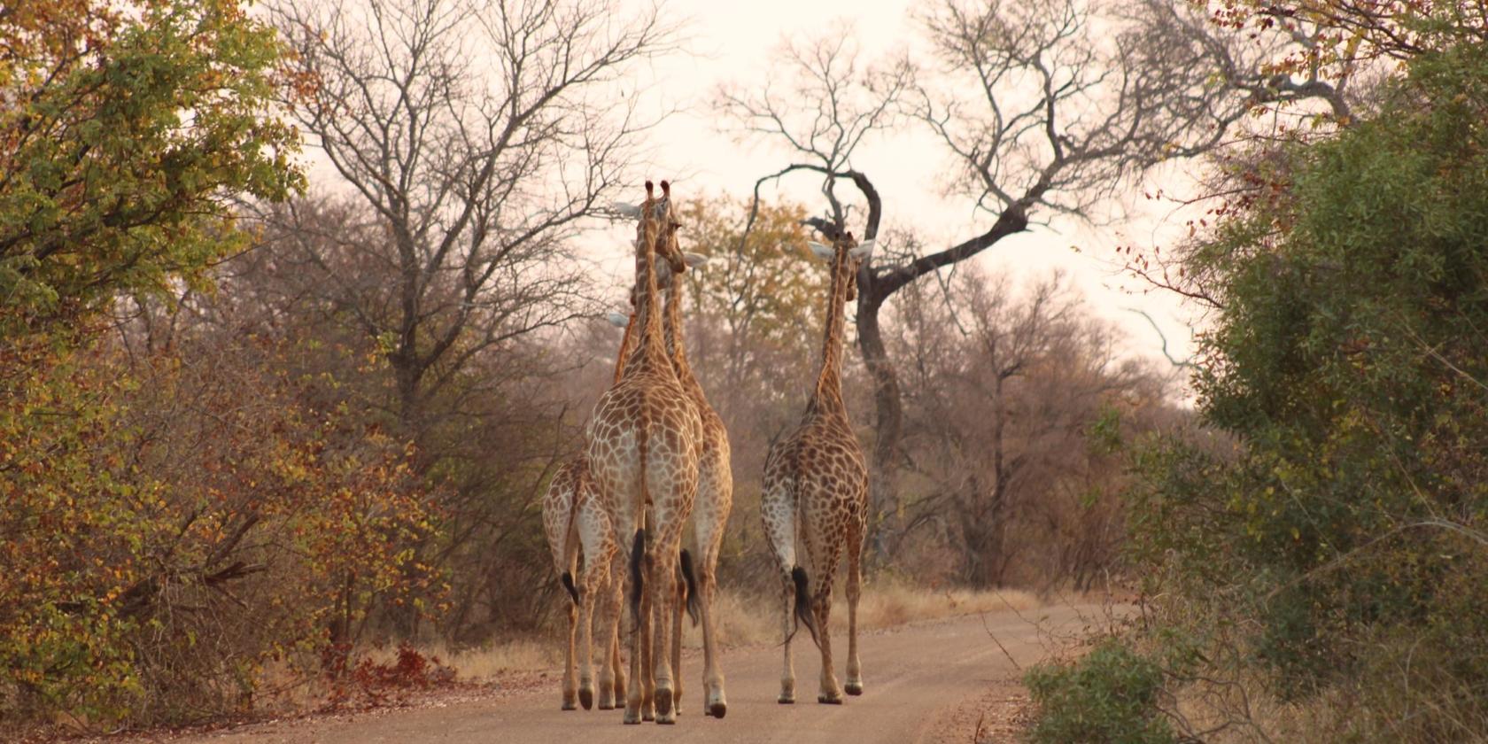 Kruger National Park - Giraffen op onverharde weg
