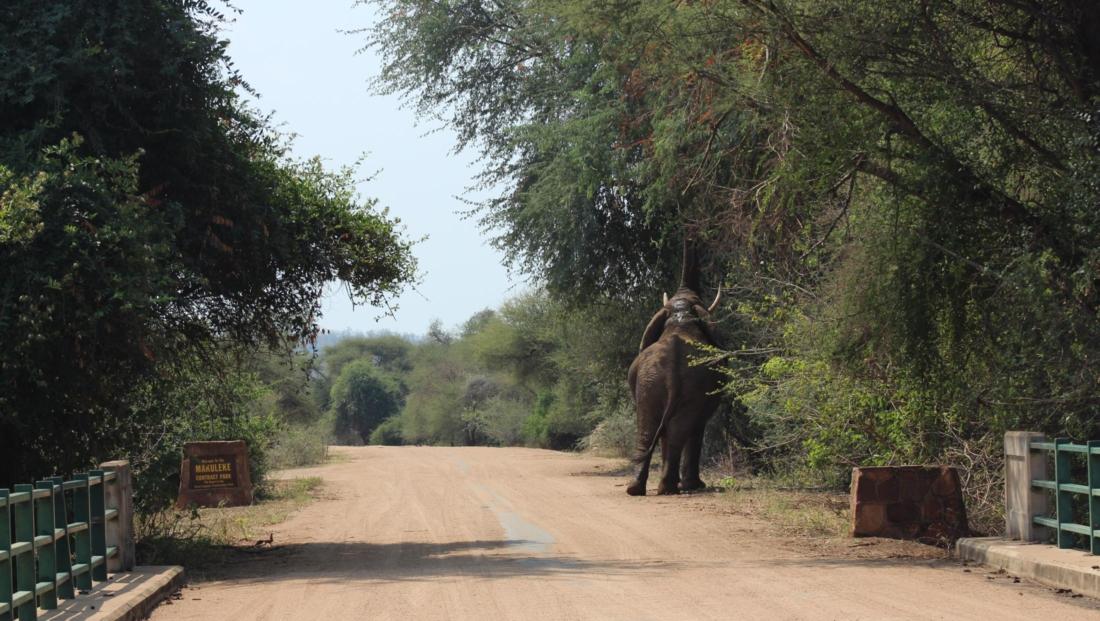 Kruger National Park - Olifant reikt omhoog naar beste bladeren