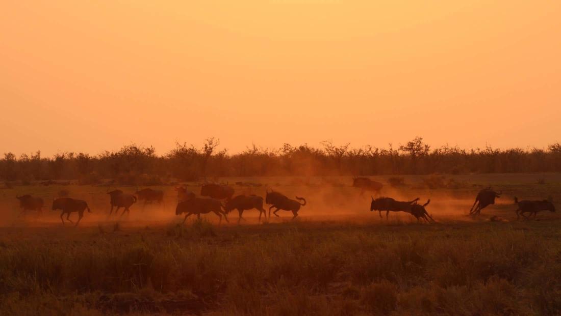 Kruger NP - Rennende gnoes bij zonsondergang