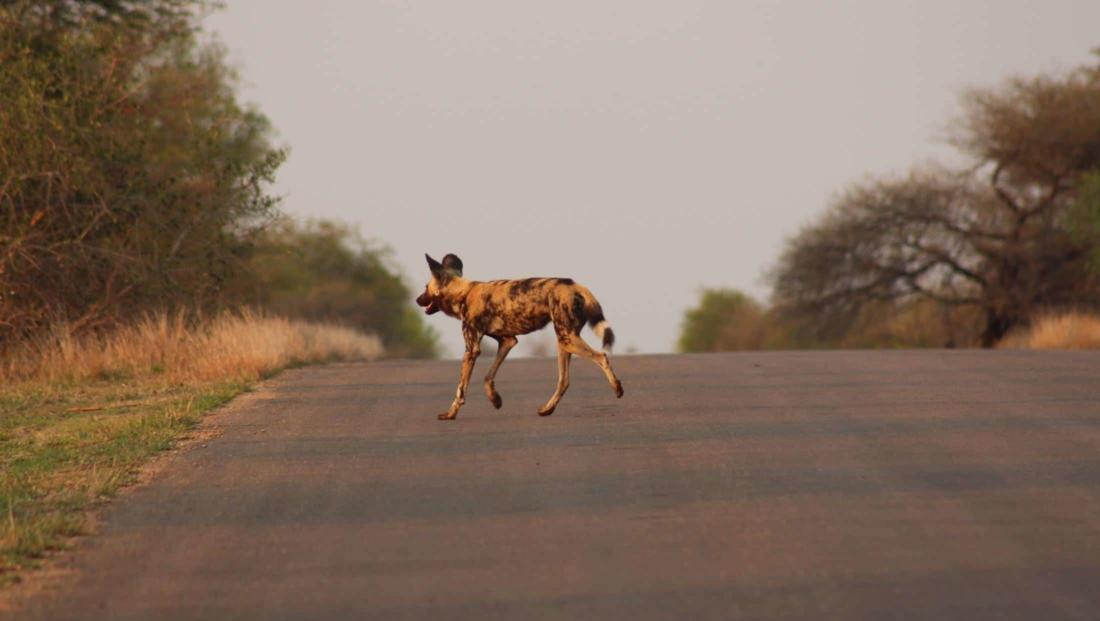 Kruger NP - Wilde hond steekt de weg over