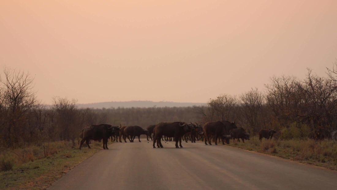 Kruger NP - Buffels op de weg bij zonsondergang