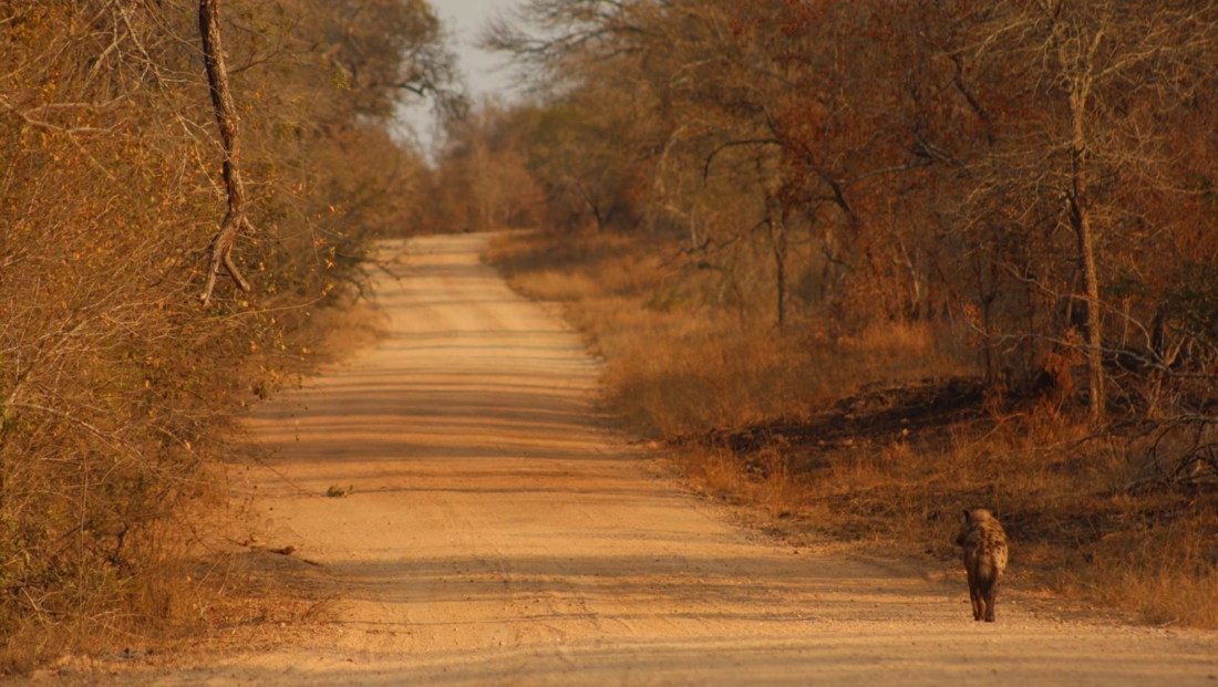 Kruger NP - Eenzame hyena op onverharde weg