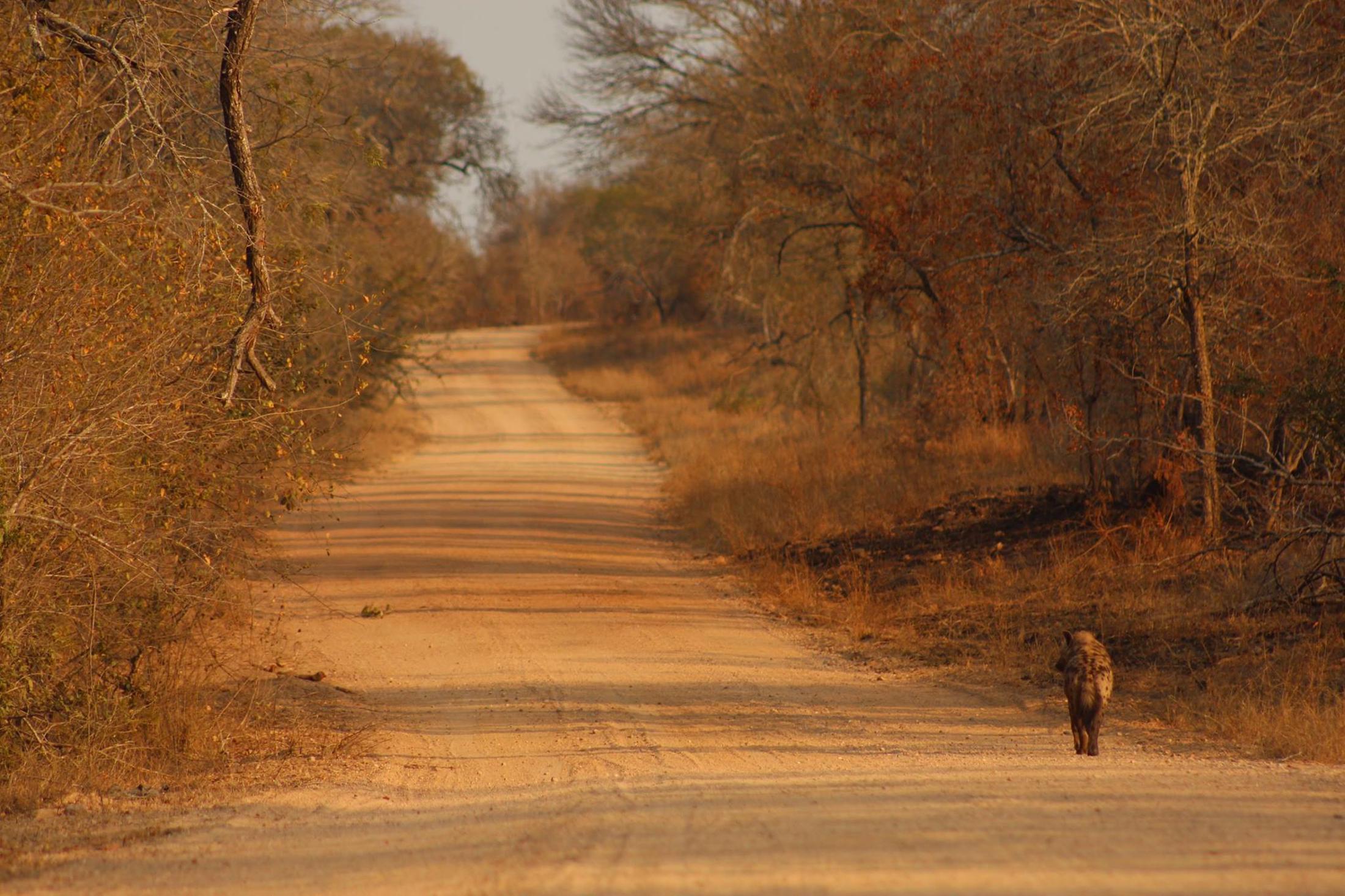 Beste reistijd Zuid-Afrik - Eenzame hyena op onverharde weg Kruger National Park
