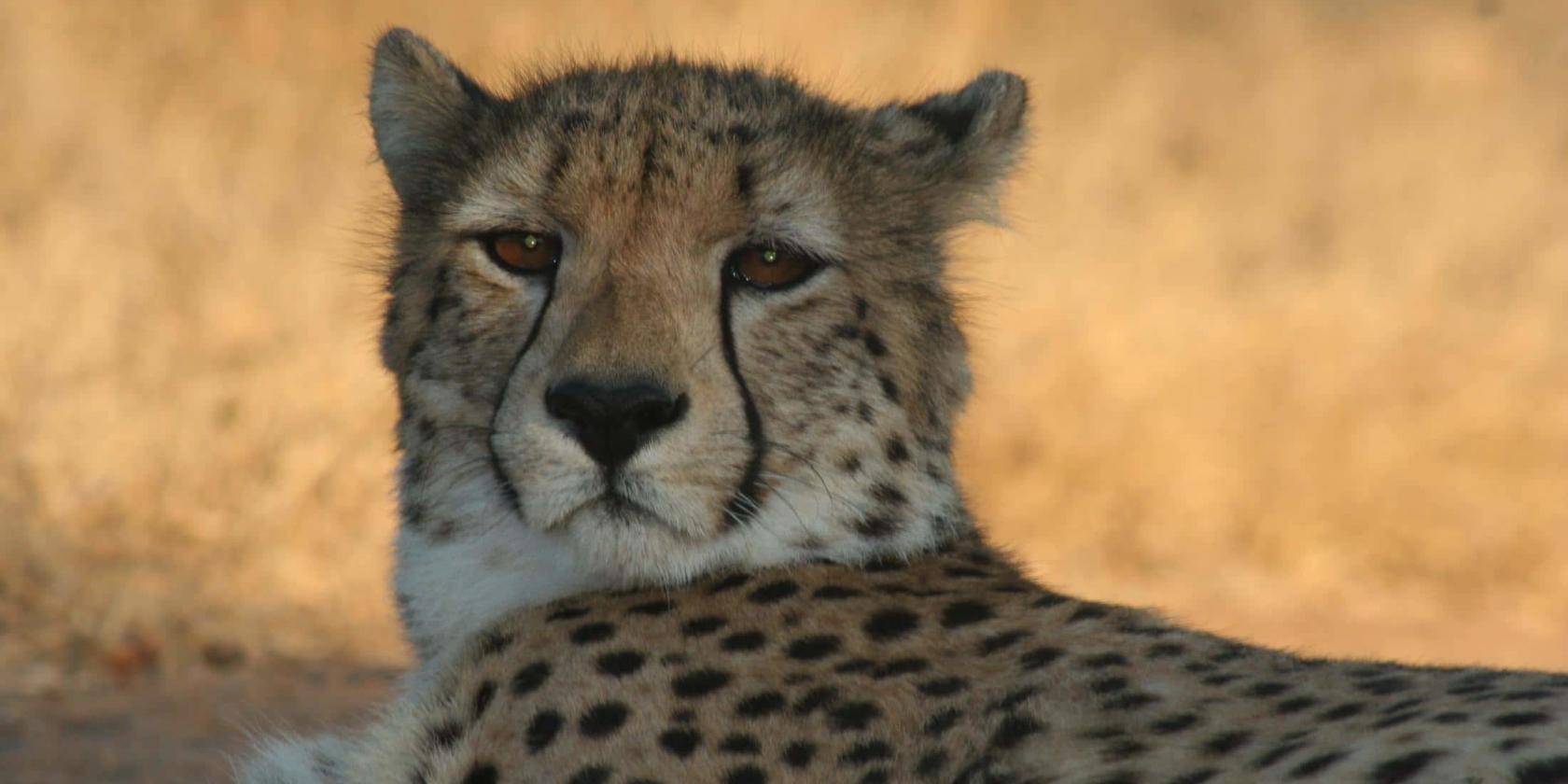 Kruger National Park - Cheetah close-up