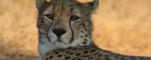 Kruger National Park - Cheetah close-up