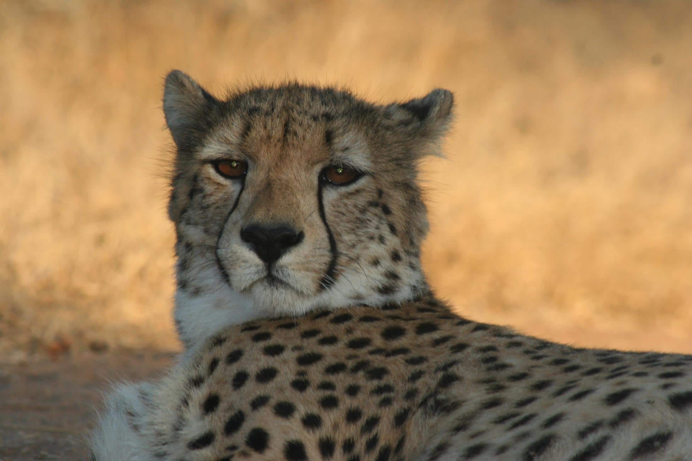 Zo spot je de Big 5 in Zuid-Afrika: cheetah