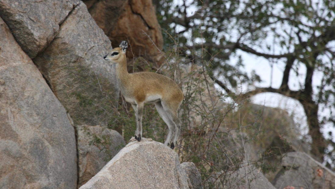 Kruger National Park - Klipspringer