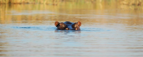 Okavango Delta - Nijlpaard aan het wateroppervlak
