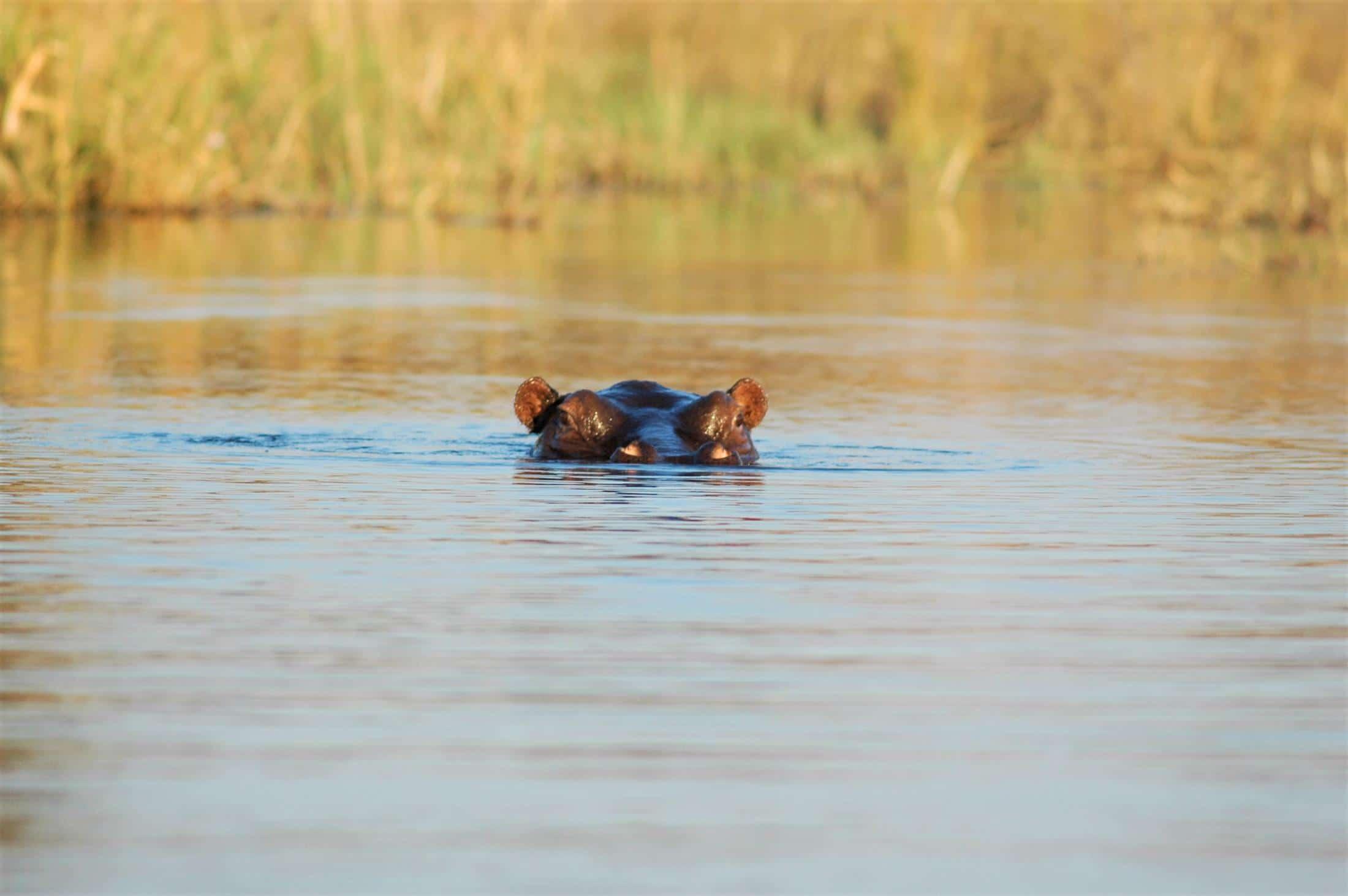 Natuur in Zuid-Afrika - Nijlpaard aan het wateroppervlak