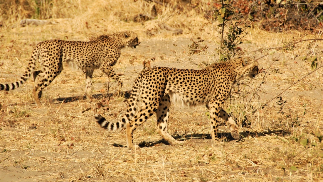 Okavango Delta - Cheetahs