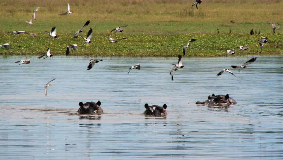 Okavango Delta - Nijlpaarden aan het wateroppervlak