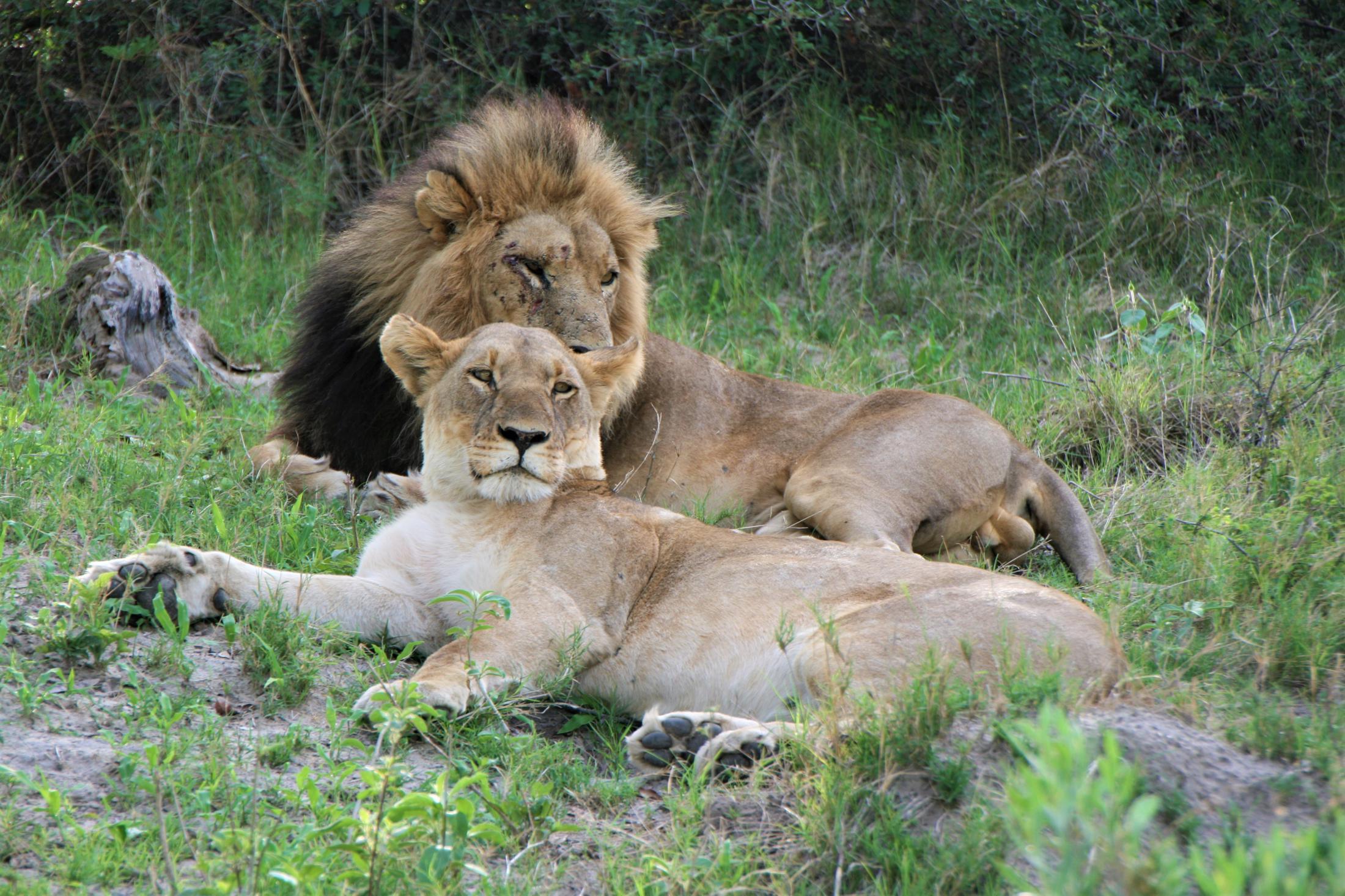 Okavango Delta - Leeuwen