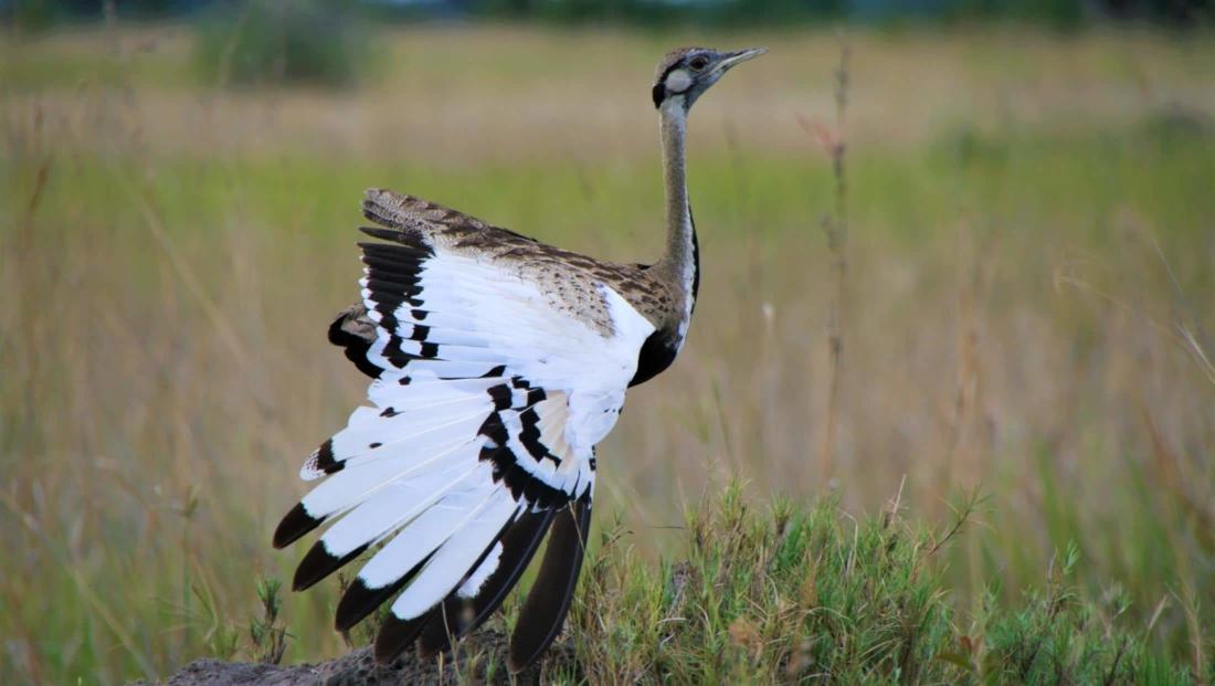 Okavango Delta - Korhaan