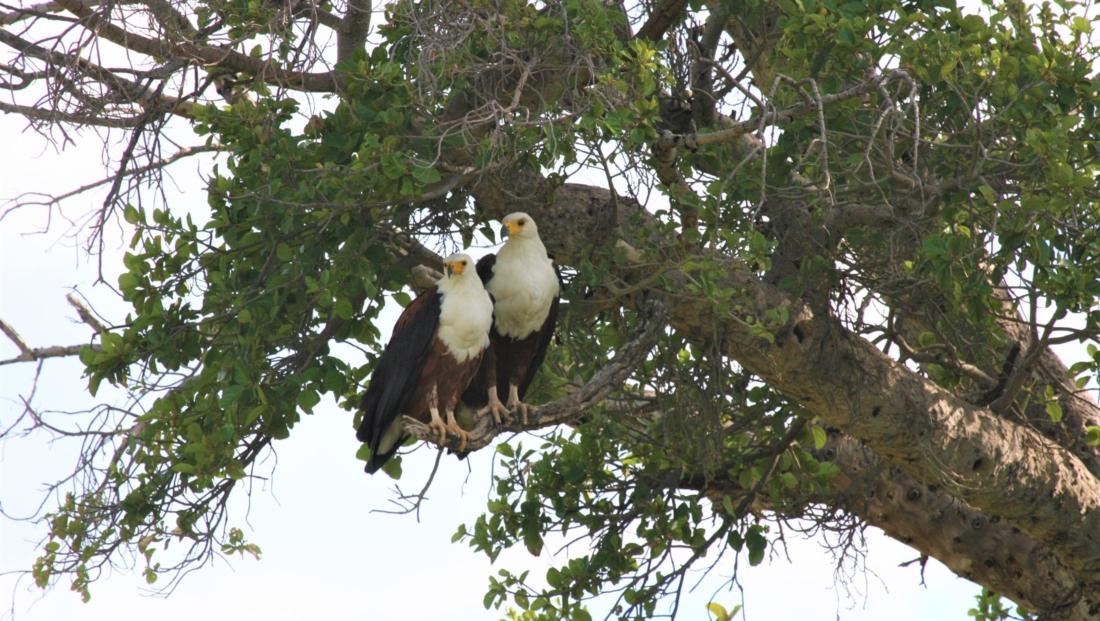 Okavango Delta - Fish Eagles