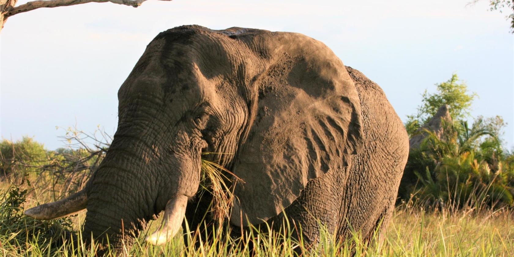 Okavango Delta - Olifant close-up