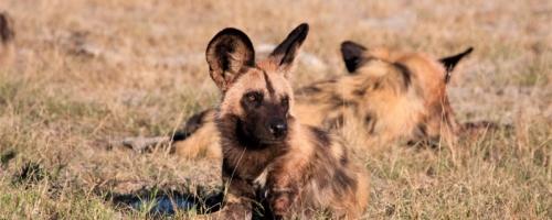 Okavango Delta - Wilde honden in het gras