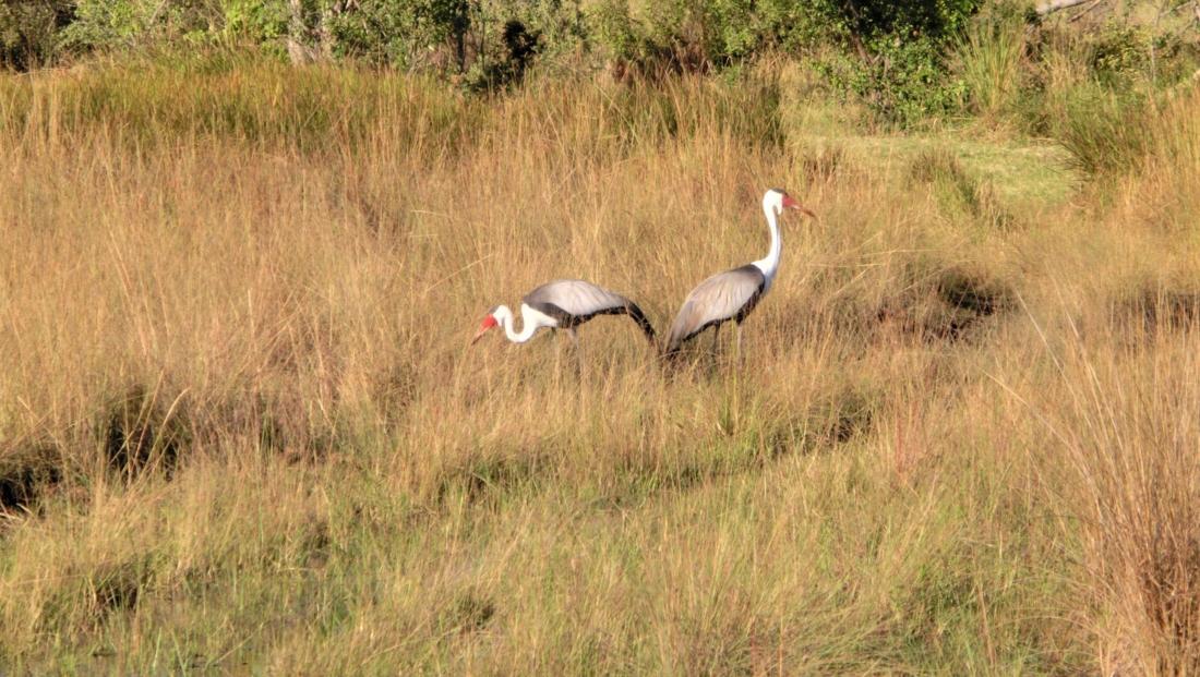 Okavango Delta - Wattled Cranes