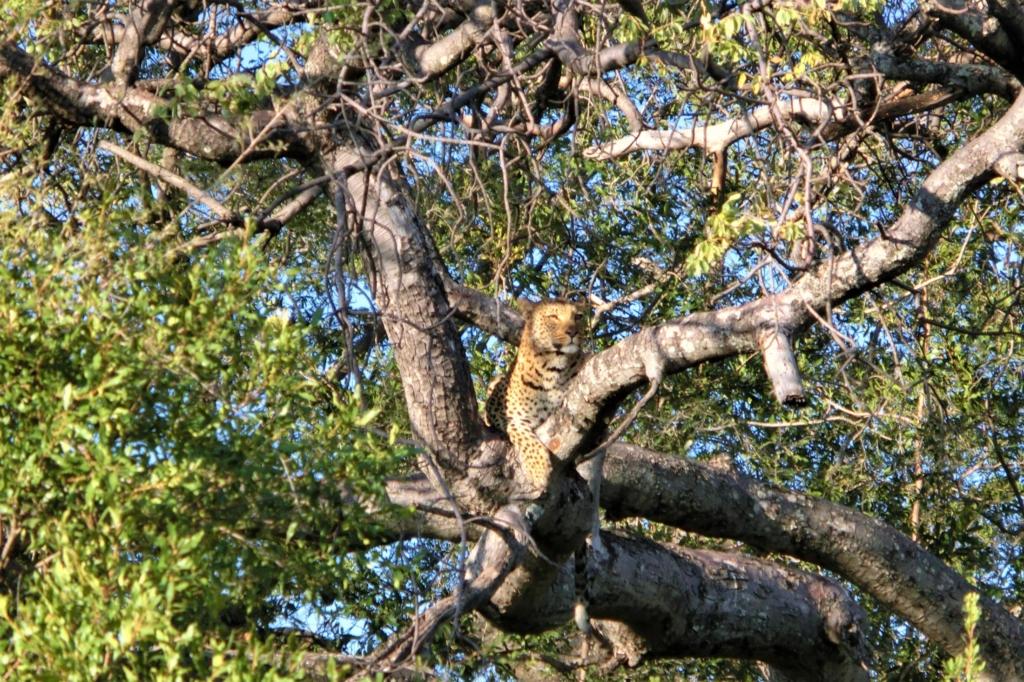 Fly-in safari Botswana - Okavango Delta - Luipaard in de boom