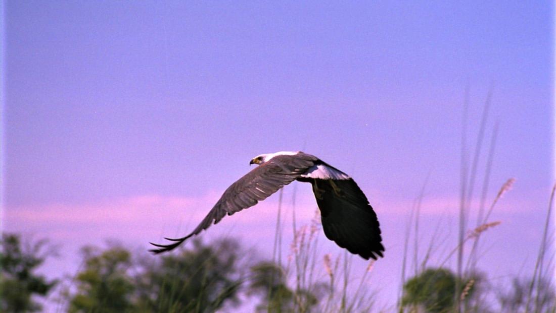 Okavango Delta - Vliegende fish eagle