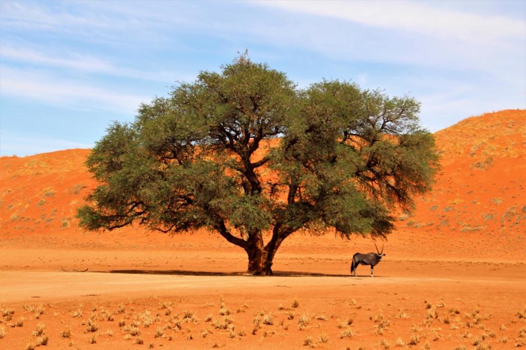 Bezienswaardigheden Namibië - Sossusvlei - Gemsbok onder boom