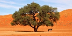 Sossusvlei - Gemsbok onder boom