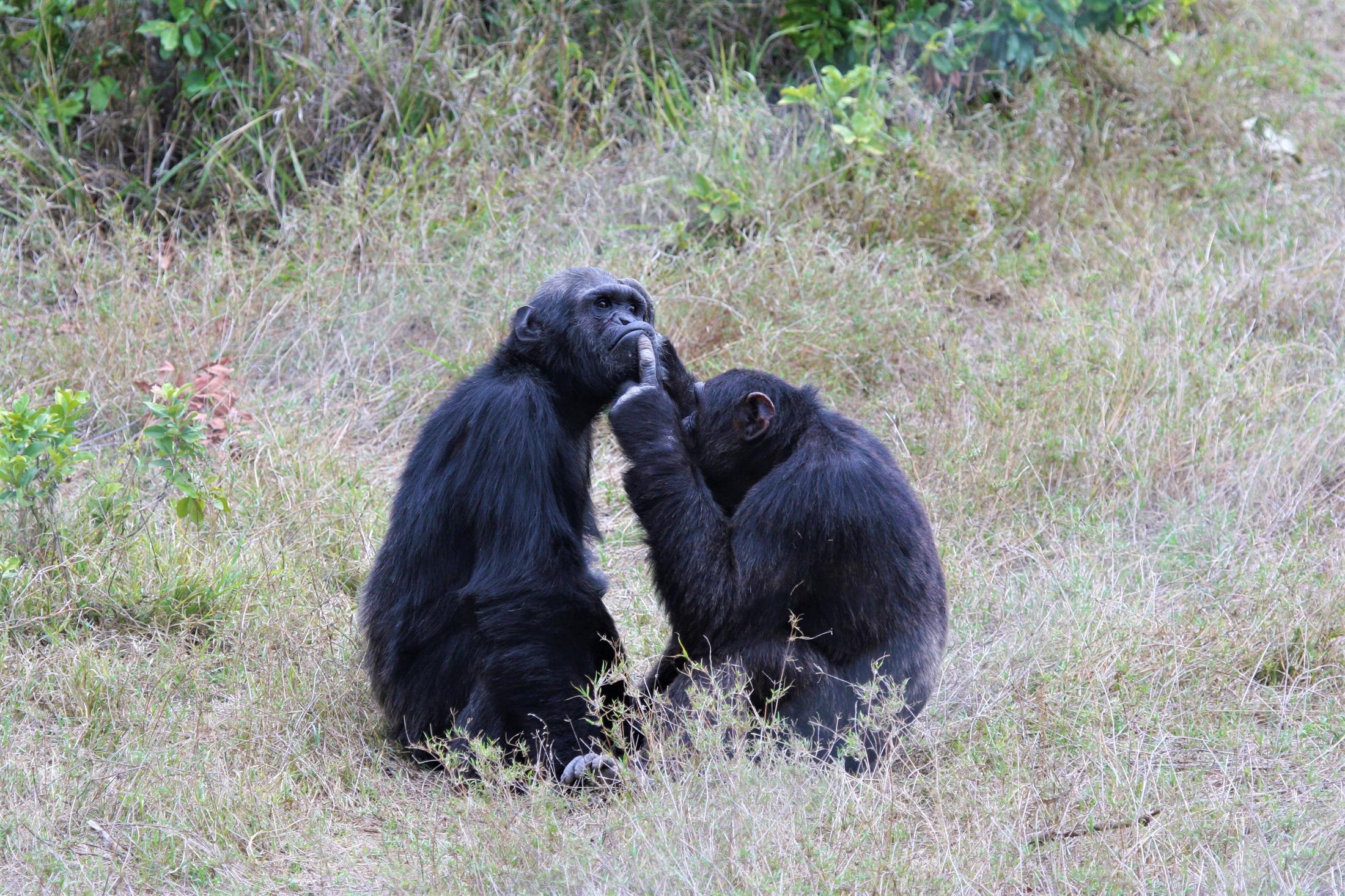 Safari reizen Tanzania - Chimpansees, één van de vele diersoorten in Tanzania