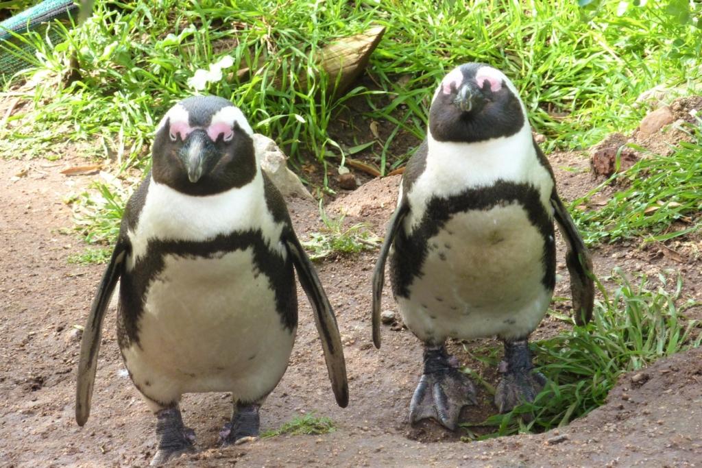 Bezienswaardigheden Zuid-Afrika - Pinguins Boulders Beach Kaapstad