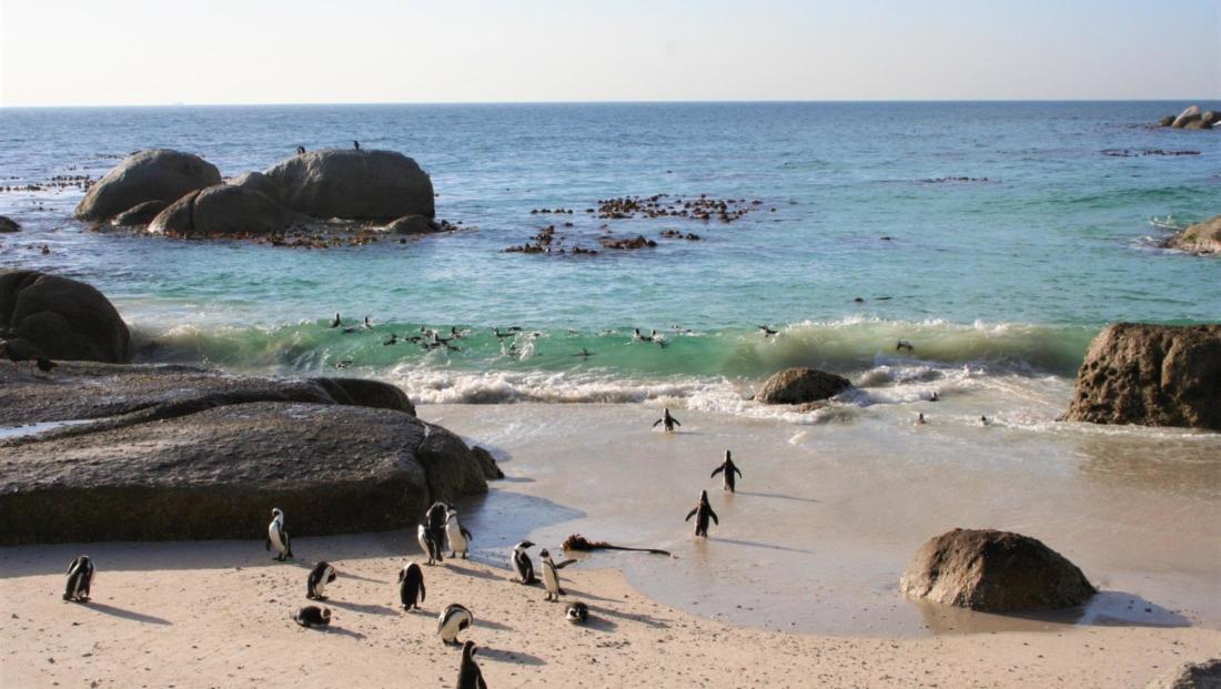 Kaapstad - Pinguins bij Boulders Beach
