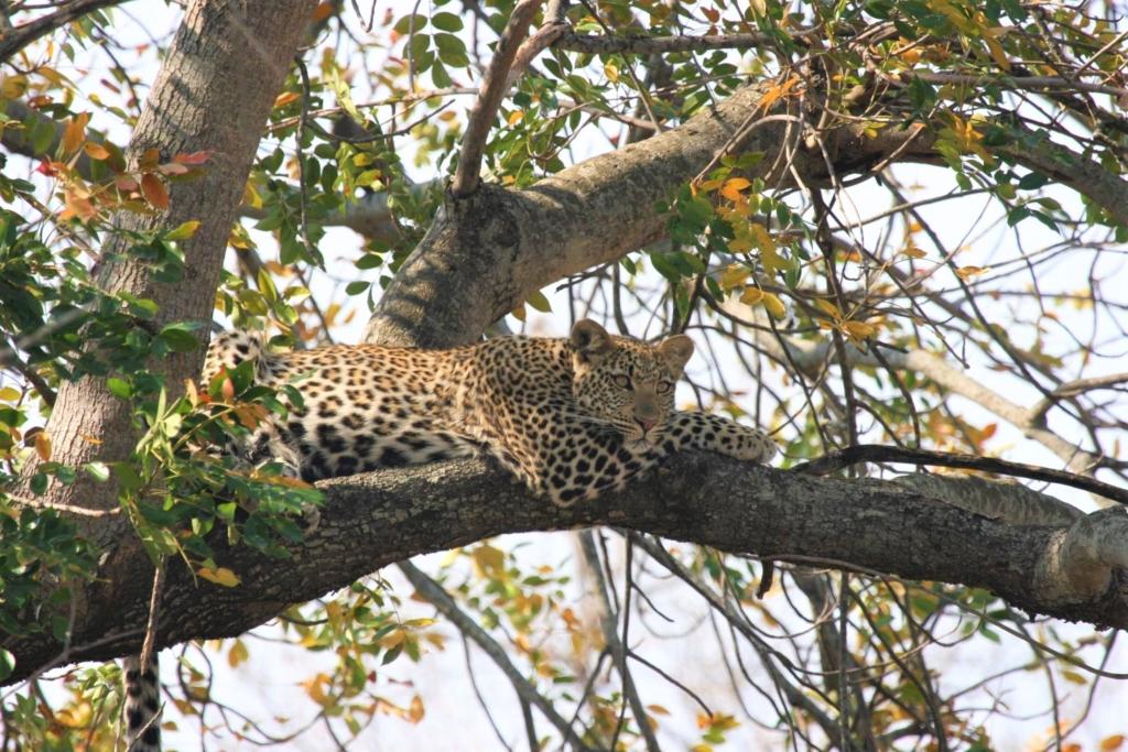 Kruger National Park - Luipaard ligt waakzaam in de boom