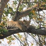 Rondreizen Zuid-Afrika - Kruger National Park luipaard ligt waakzaam in de boom