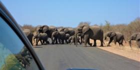 Kruger NP - Olifanten steken de weg over