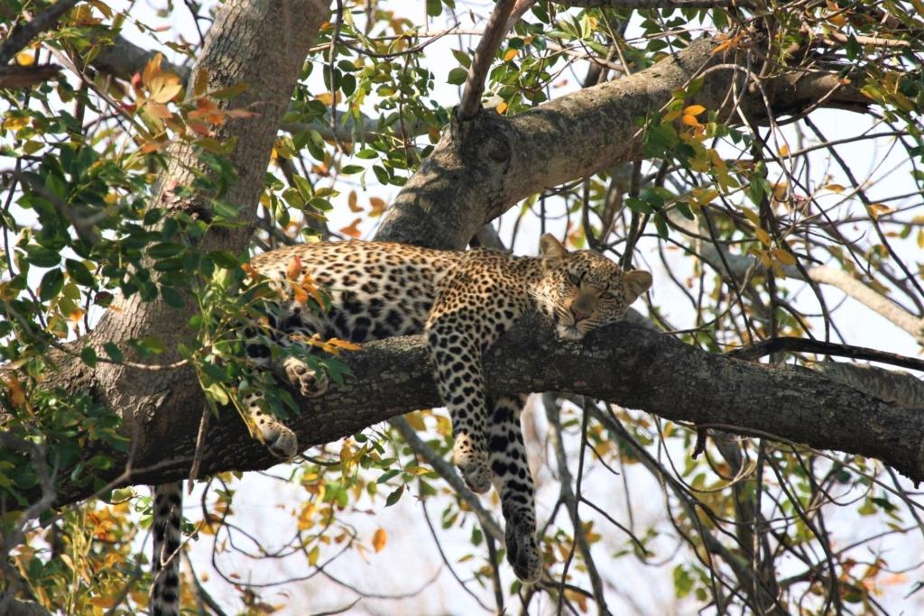 Nieuwsbrief Out in Africa - Luierend luipaard in een boom in Kruger National Park