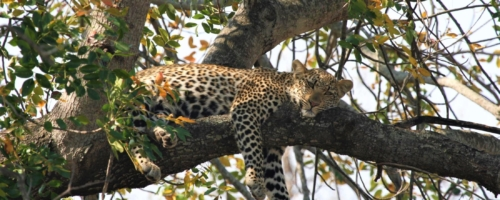 Kruger NP - Luierend luipaard in een boom