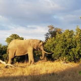 Kruger National Park - Olifant