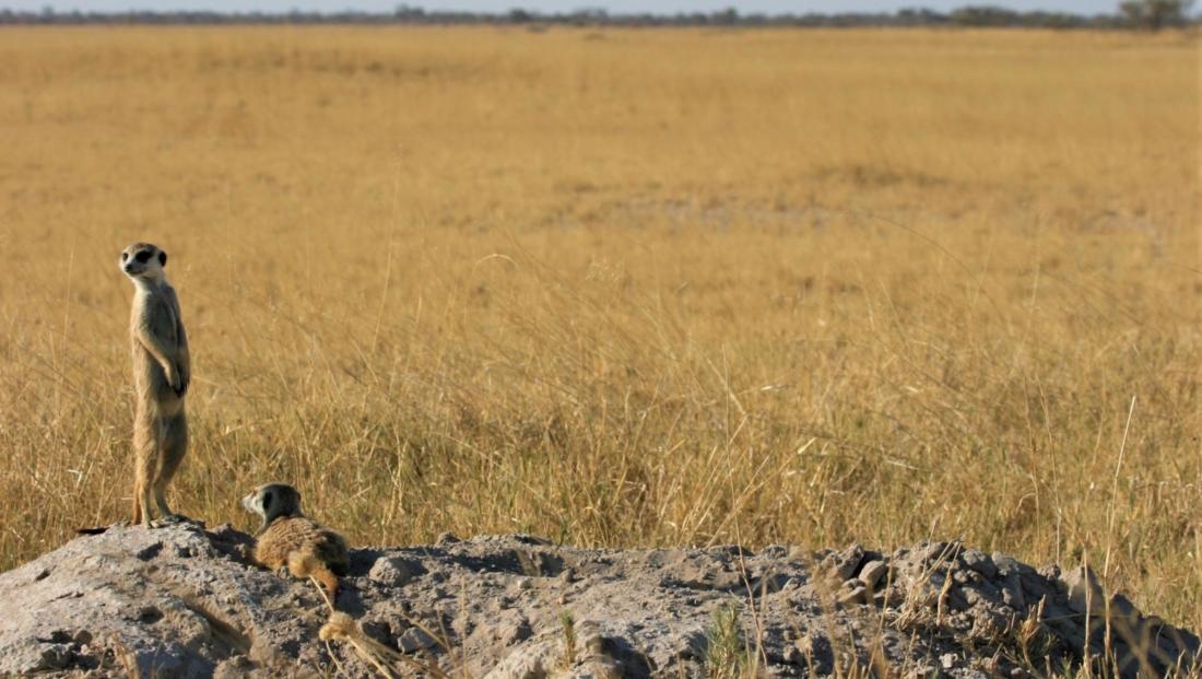 Makgadikgadi Zoutpannen - Stokstaartjes