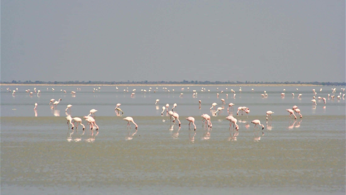 Makgadikgadi Zoutpannen - Flamingo's in het water