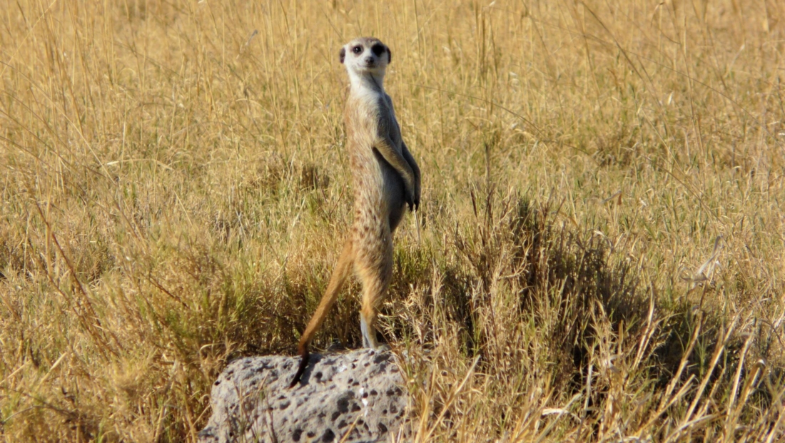 Makgadikgadi Zoutpannen - Stokstaartje