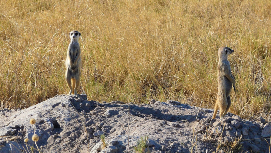 Makgadikgadi Zoutpannen - Twee stokstaartjes op termietenheuvel