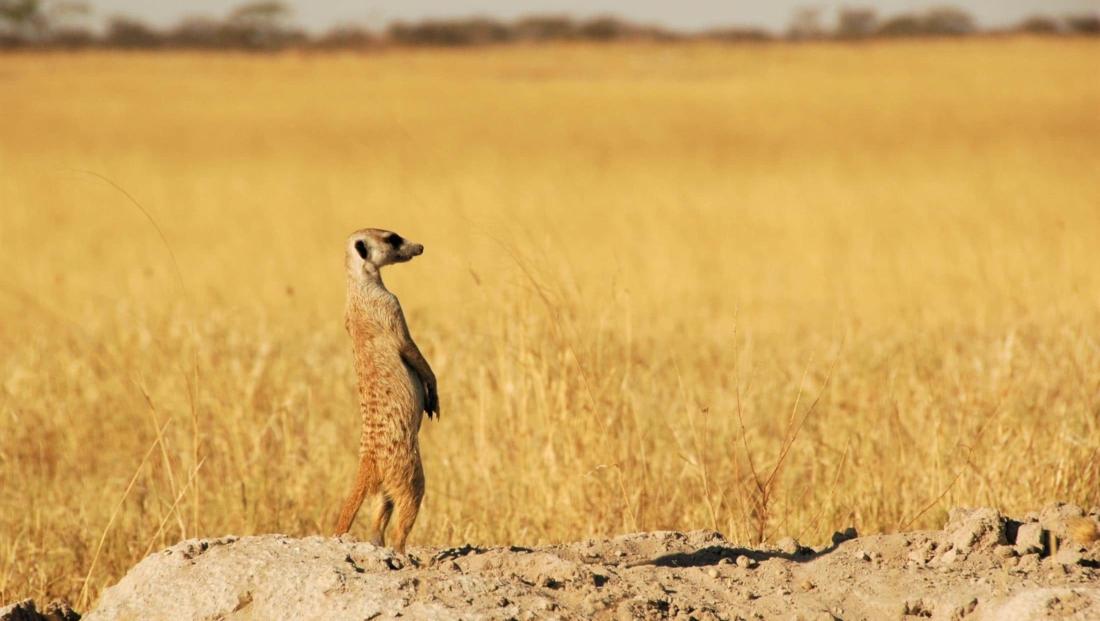 Makgadikgadi Zoutpannen - Stokstaartje staat rechtop