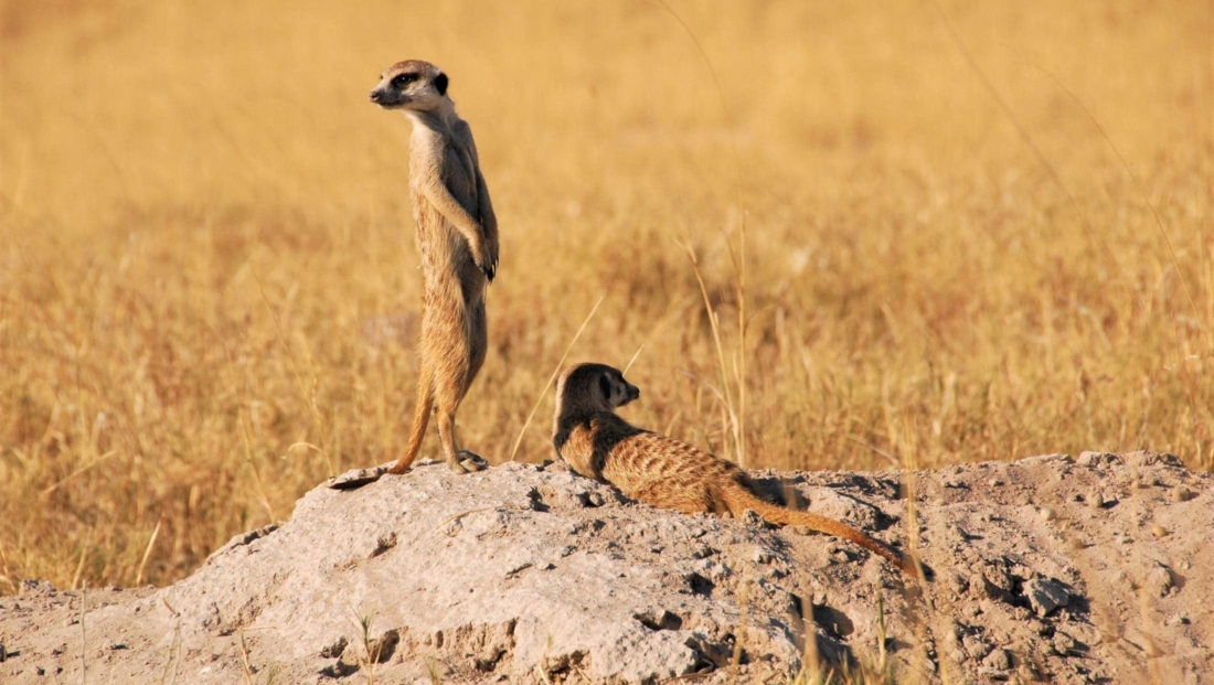 Makgadikgadi Zoutpannen - Stokstaartjes op termietenheuvel