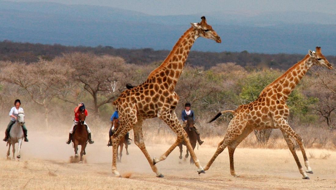 Ants Nest - Paardrijsafari galopperen met giraffen