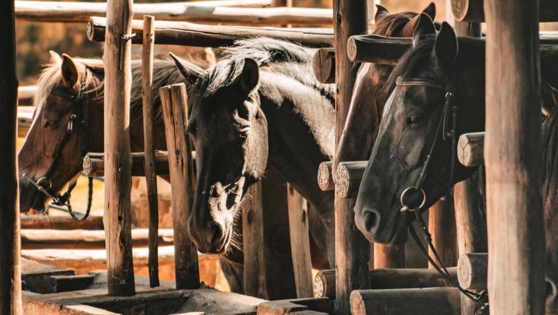 Montusi - Paarden op stal