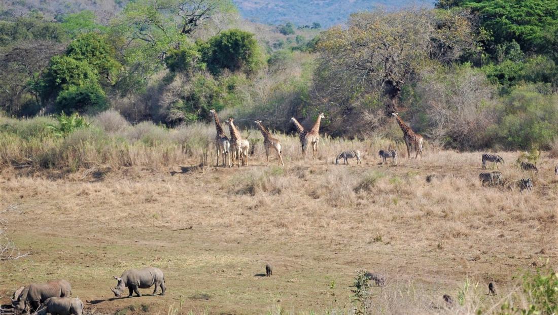 Hluhluwe-Imfolozi - neushoorns, giraffen, zebra's